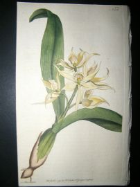 Curtis 1791 Hand Col Botanical Print. Two Leav'd Epidendrum 152